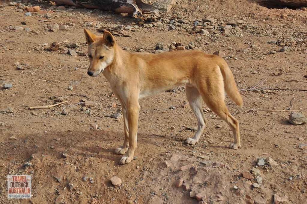 dingo, Alice Springs Desert Park, ouback Australia