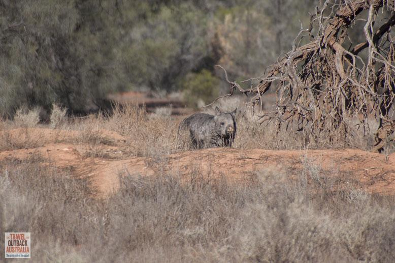 Wombat, Gawler Ranges, South Australia