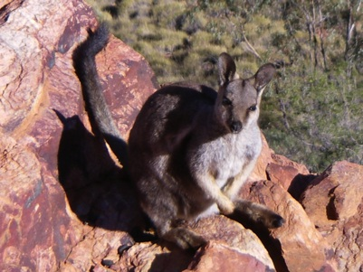 Simpsons Gap, West MacDonnell National Park, Rock Wallaby, Australia