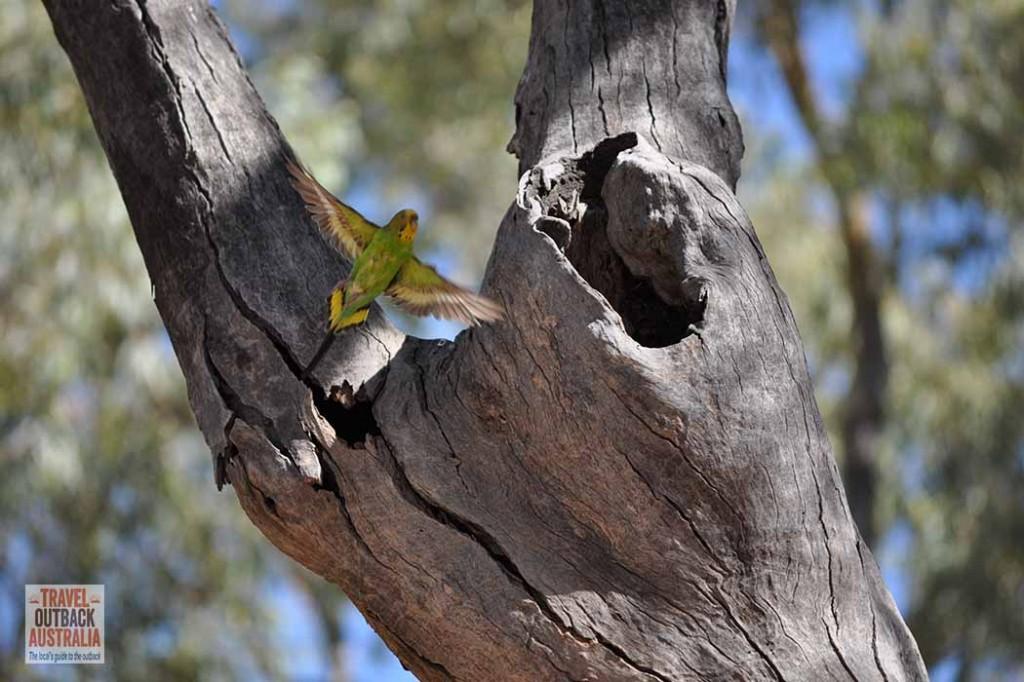 Budgerigar, outback Australia