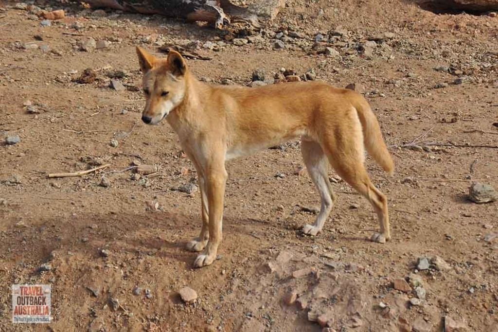 Dingo-ASDP